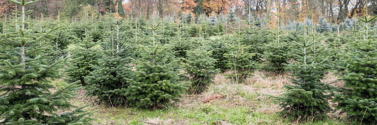 Tannenbaum Selber Schlagen Düsseldorf.Weihnachtsbäume Gräflich Von Spee Sche Forstbetriebe